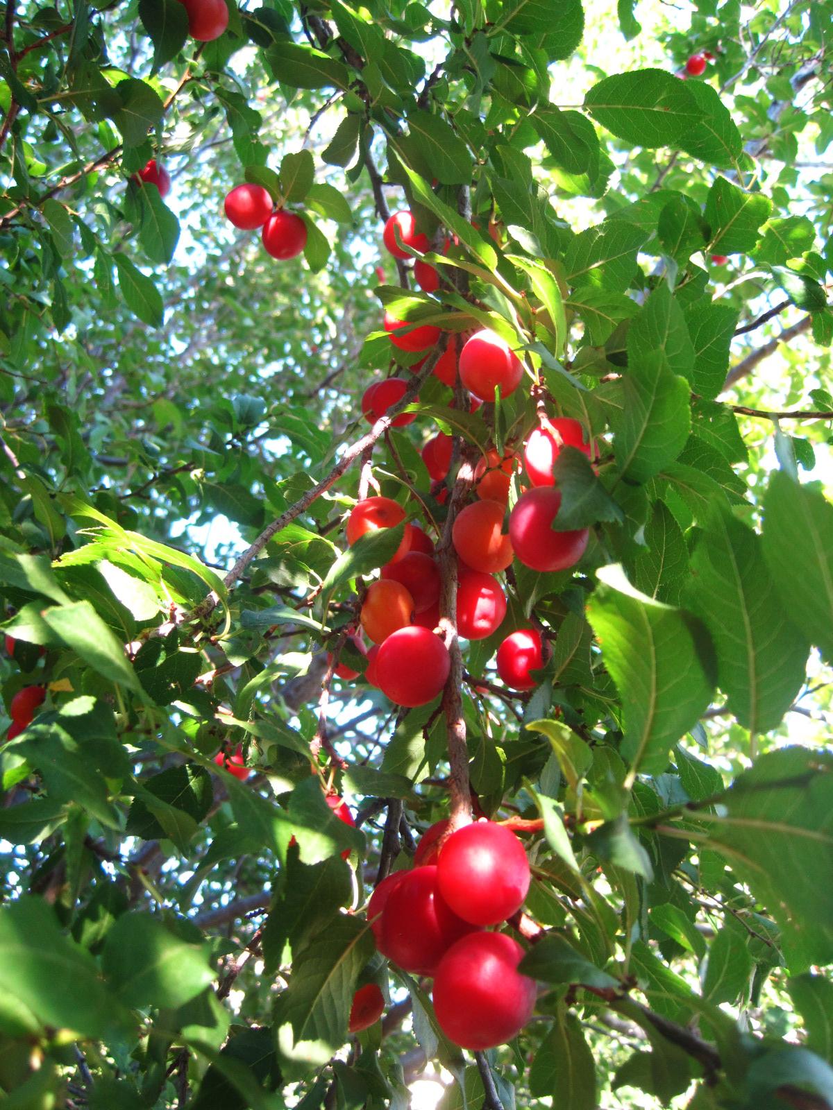Cherry Nude Photos 15