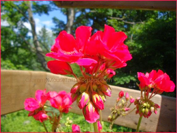 blooming geranium buds - so amazing™HGTV- geranium red neon garden flower photography