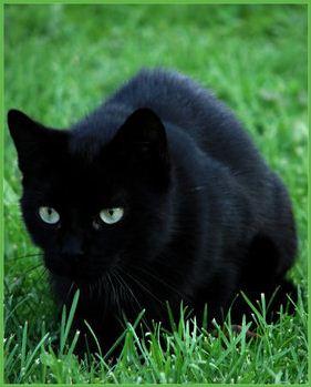 Planet Animals 2012 Black Cat