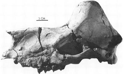 Tylocephalonyx skull