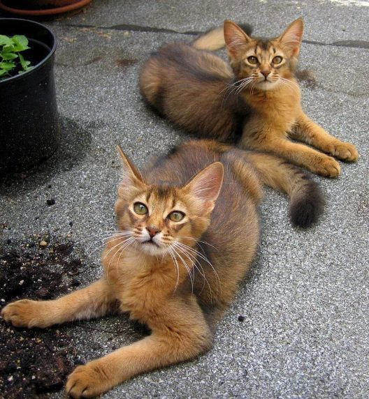 Abyssinian Cat Domesticated Wild Cats