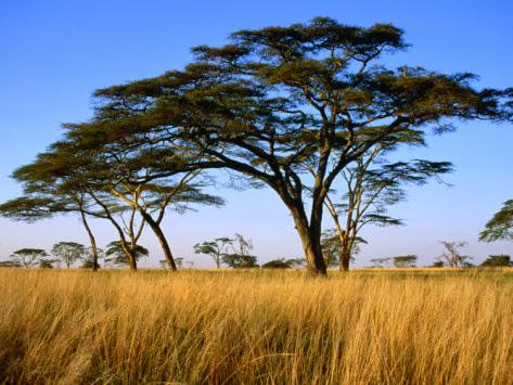 acacia tree short essay