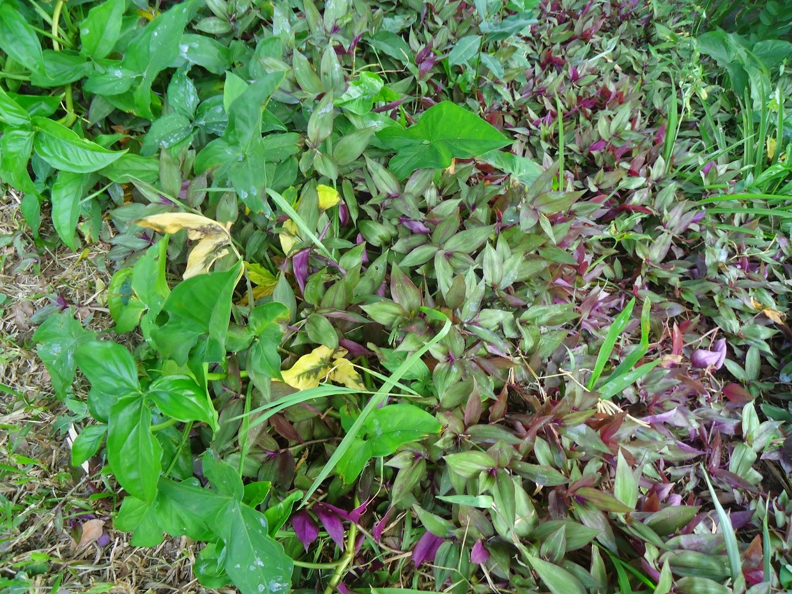 V e r d e c h a c o tradescantia amor de hombre cucaracha for Planta venenosa decorativa