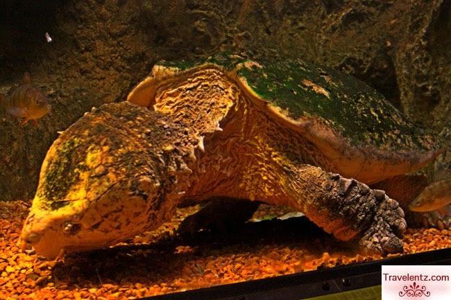 Alligator snapper at aquarium newport kentucky travelentz for Aoi japanese cuisine newport ky