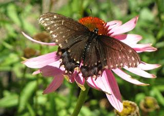 Le papillon du céleri ...ici un spécimen plutôt âgé (les ailes du ...