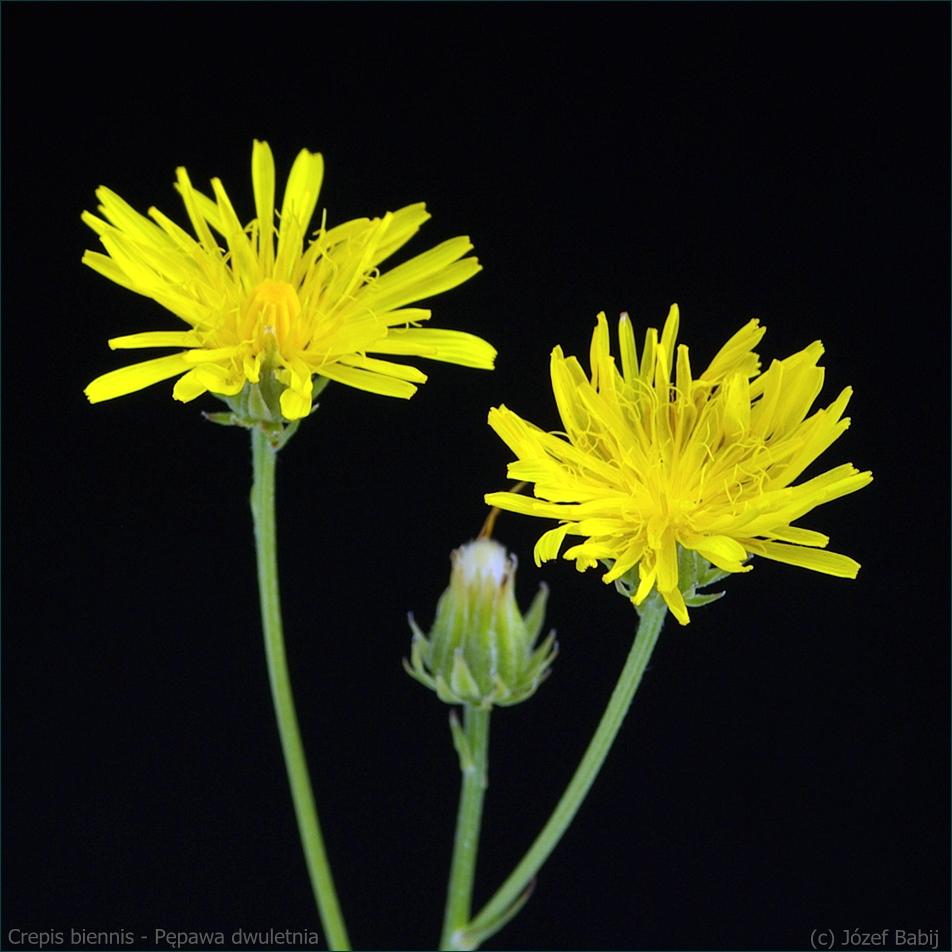 Crepis biennis - Pępawa dwuletnia