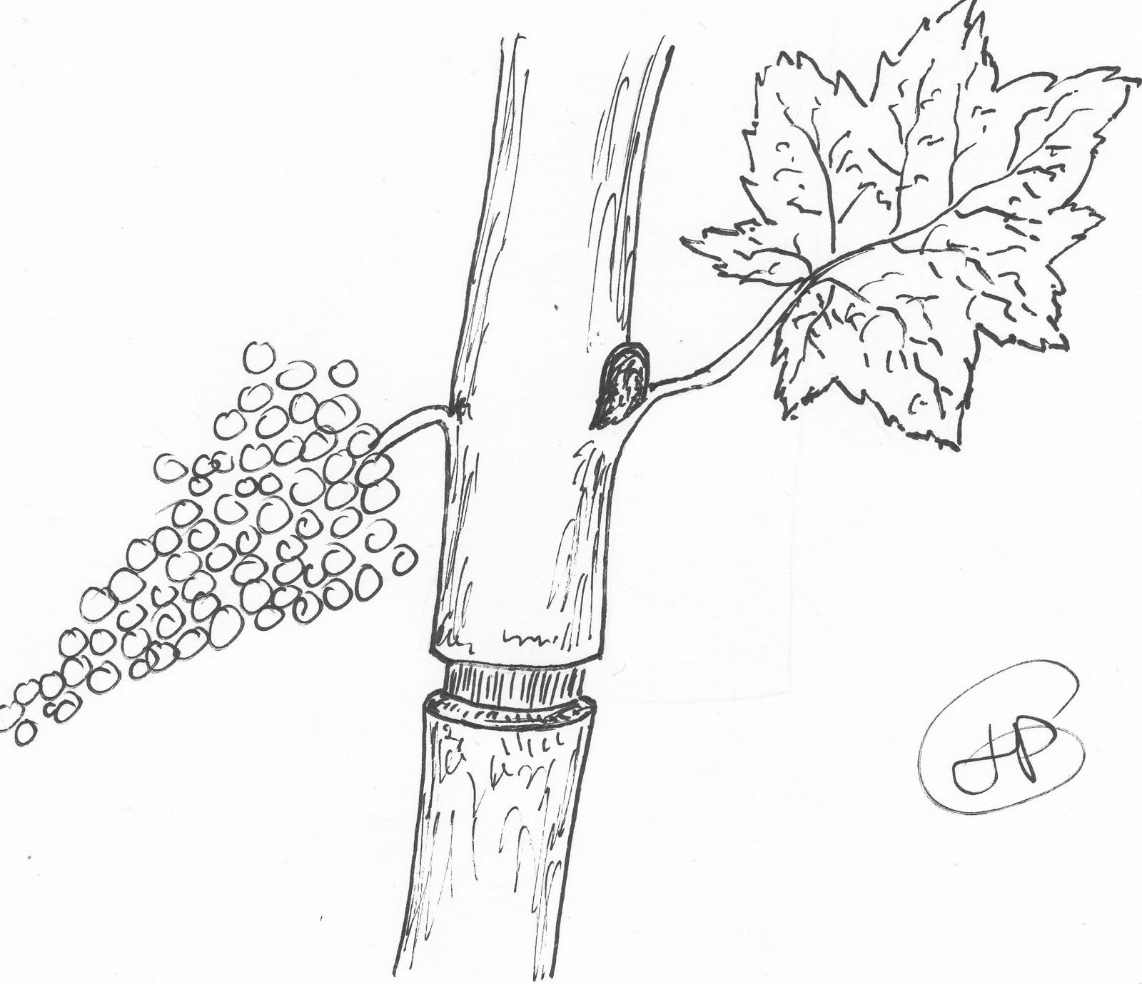 Les secrets de la taille et de la greffe des arbres - Tailler la vigne raisin de table ...