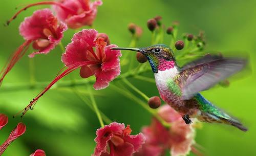 Beija-flor