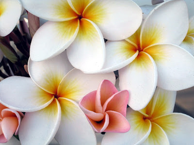 Plumeria - Photo by Laura Curtin