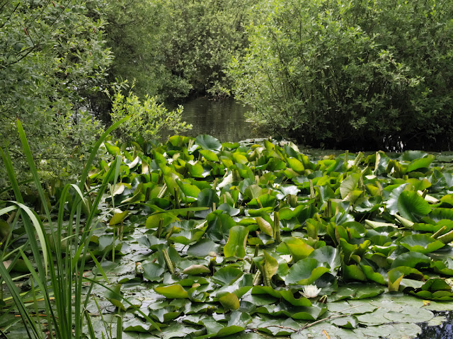Water lilies in inlet off Dickerson's Pit