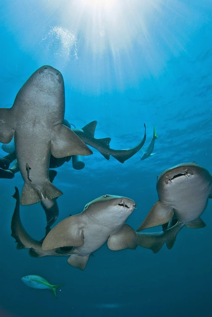 Great Nurse Sharks