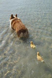 Adopción de patitos
