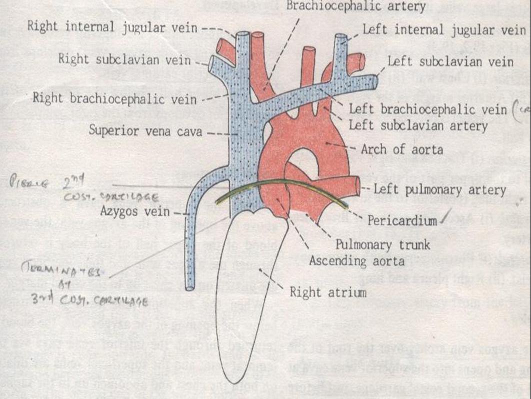 Right internal jugular vein anatomy