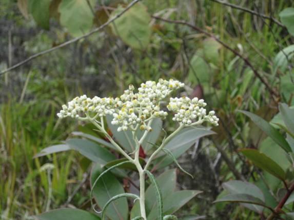 bunga edelweis gunung burni telong