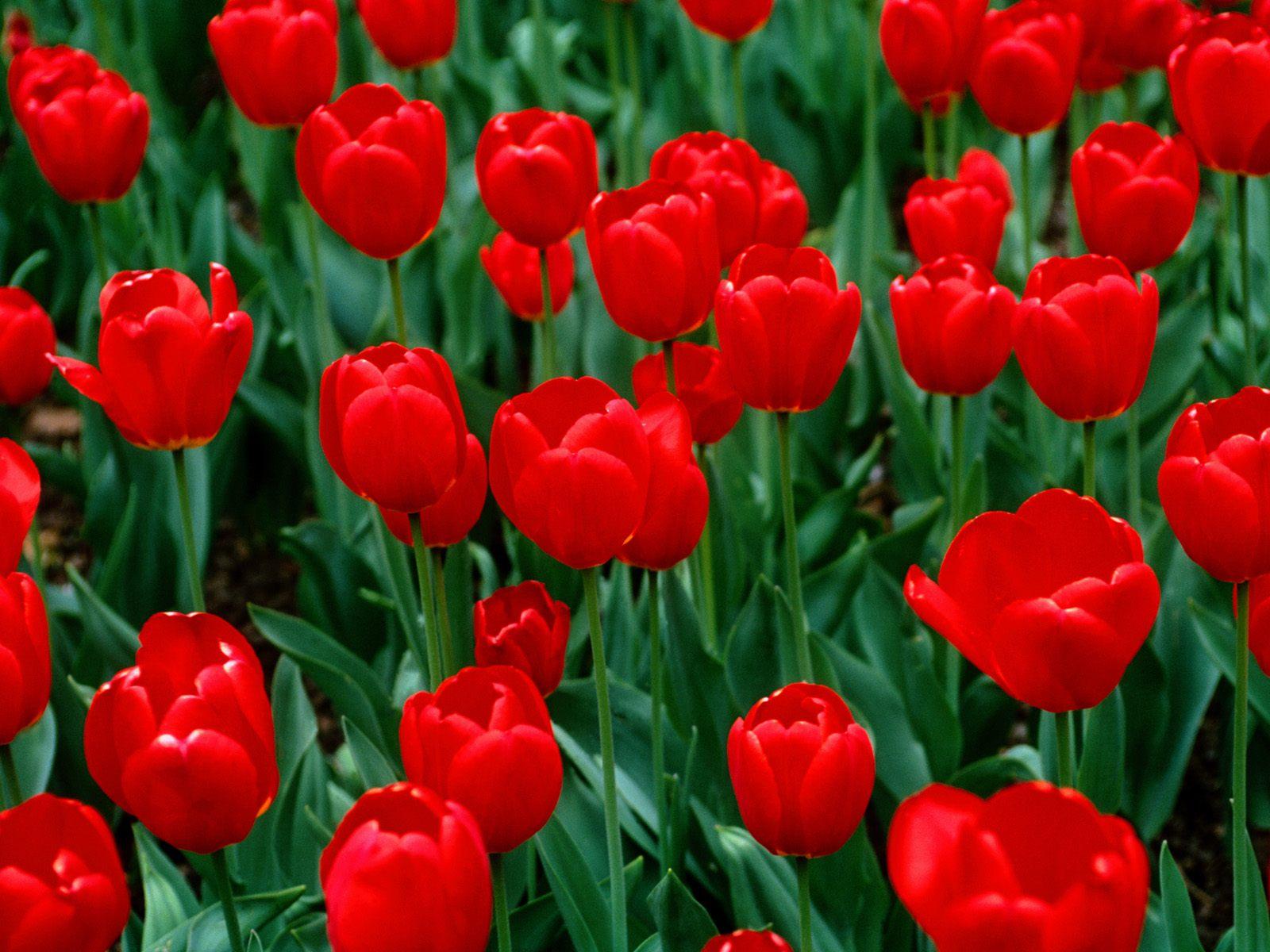 http://3.bp.blogspot.com/-lNPch-1qDcM/TcQKqXcXixI/AAAAAAAAJ_c/RgUiZDx4Sek/s1600/flower-backgrounds-red_tulips_1600x1200.jpg