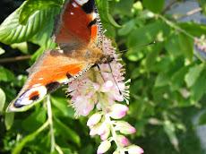 *Schmetterling*