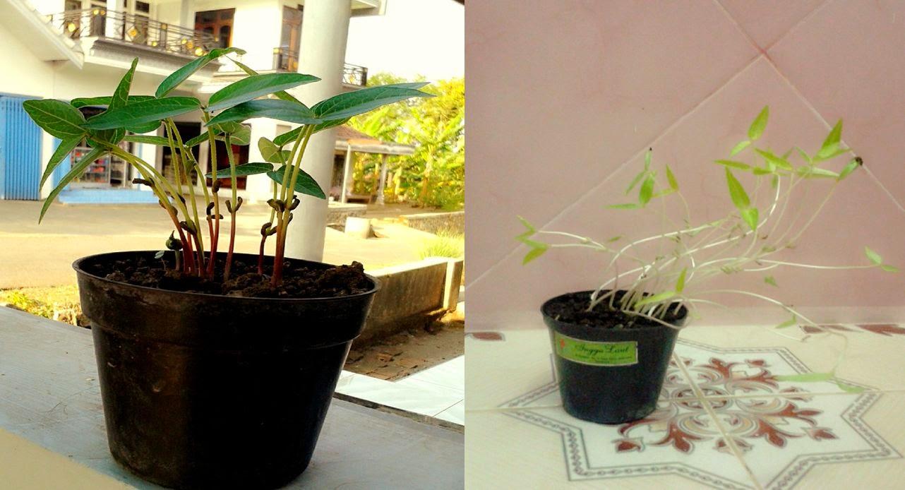 Observasi Pengamatan Pertumbuhan Kacang hijau dan pengaruh cahaya
