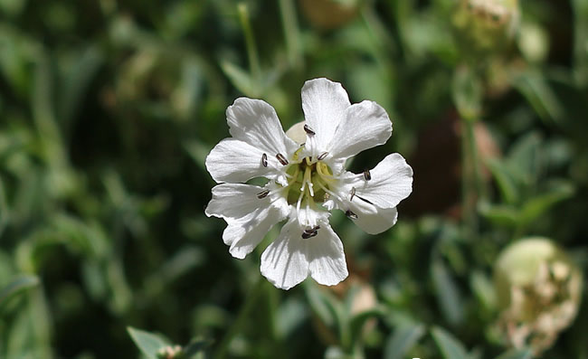 Silene Uniflora Flowers