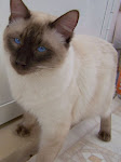 Devon , of Kathys Country  Siamese