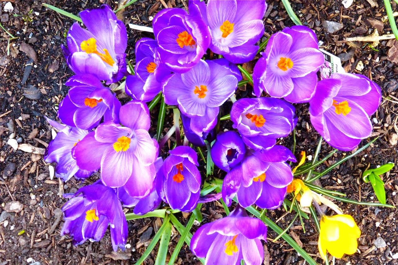 spring garden, crocuses, purple crocus, purple crocuses, garden