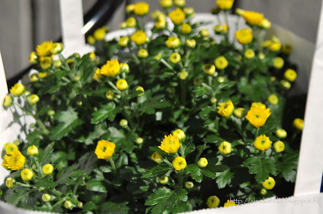 krysanteemit, Chrysanthemum
