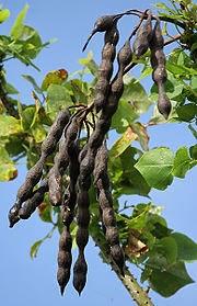 manfaat Pohon Cankring