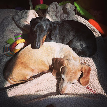 Dachshunds Lounging in Their Big Apple Abode
