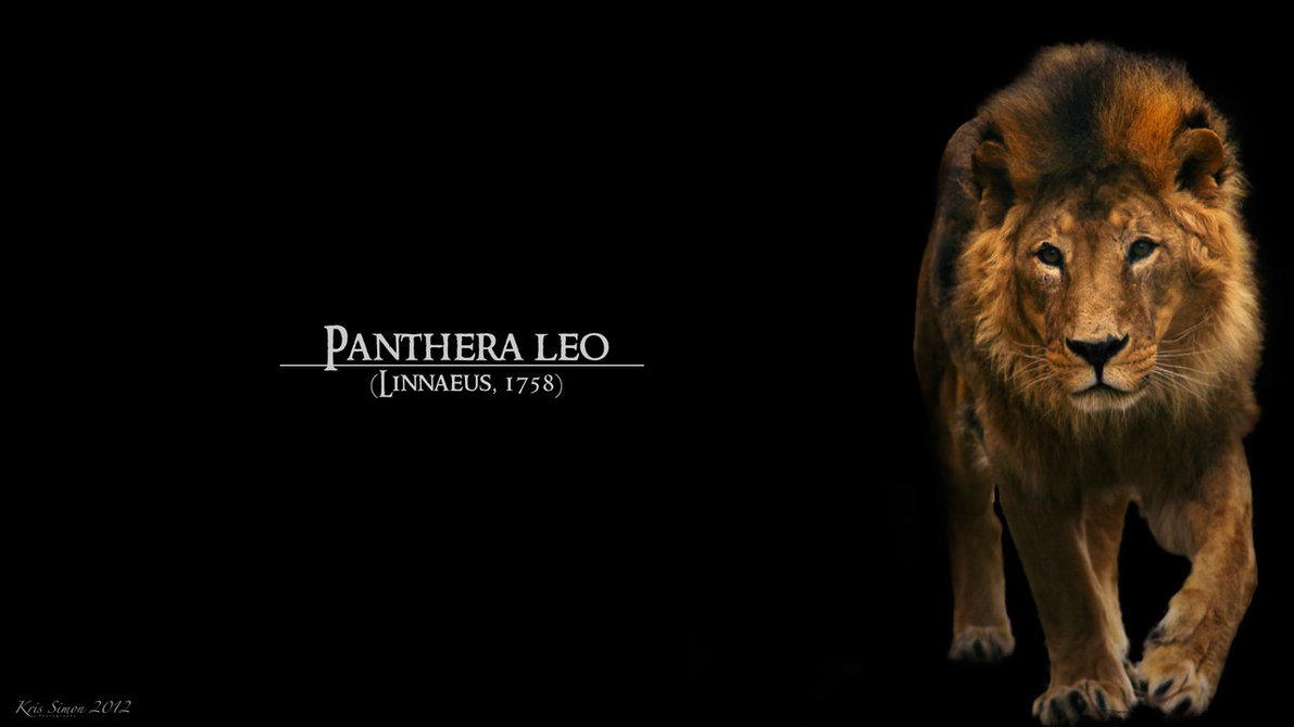 Black lion pictures