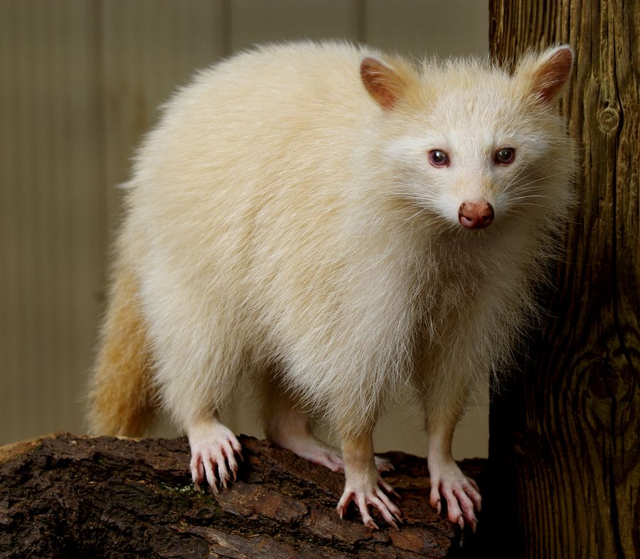 6. Albino Raccoon by Brian Masters