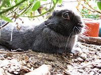"""Zwaarte en grauwe konijntje """"Smokey"""" ligt onder de Albany woolly bush."""