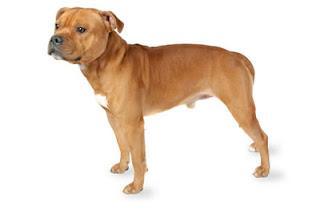 Staffordshire Bull Terrier Dog Photos