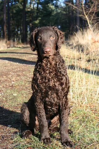 Curly Coated Retriever Dog 1