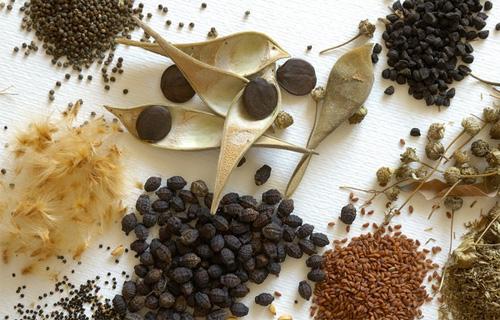 Semillas plantas medicinales y aromaticas for Tipos de plantas forestales