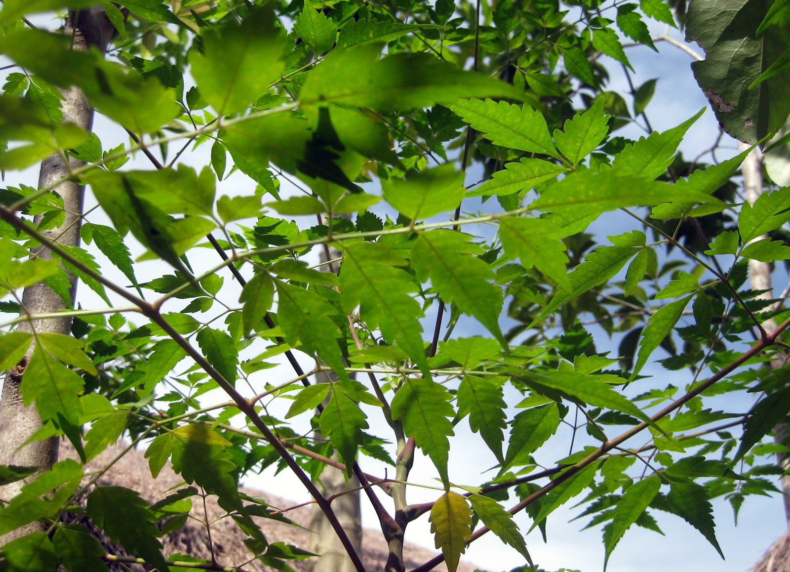 turning boholano neem leaves the neem tree azadirachta indica has been attracting worldwide attention due to its wide range of medicinal properties neem has been extensively used in
