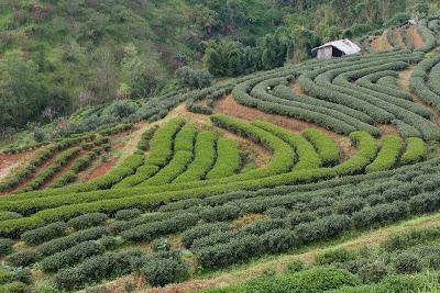 Teegarten in Doi Angkhang mit Jin Xuan und Ruan Zhi Büschen