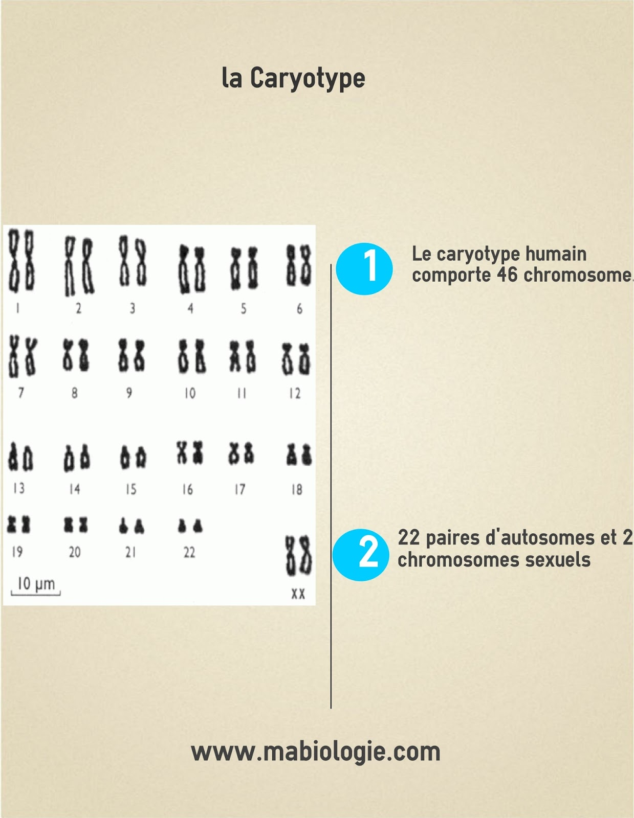 Définition Caryotype