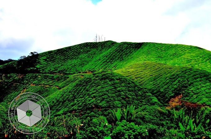 Destinasi Percutian : BOH Tea Center Sungei Palas