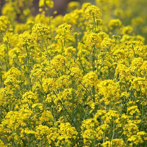 Mustards Plant | Genera Brassica Sinapis | Cooking Signature