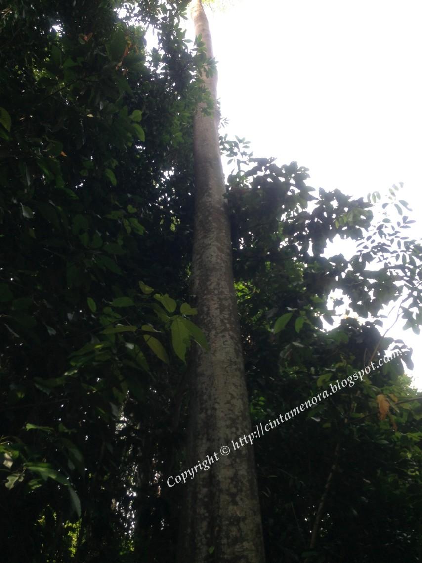 pokok hujan pulau besar