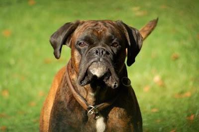 boxer-dog-training-tips