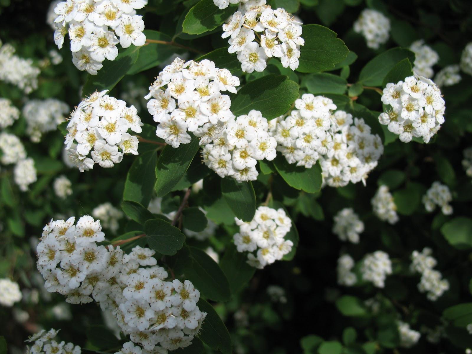 Roses du jardin Chêneland: Fleurs blanches du mois de mai