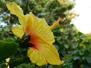 venation and anther, fliament on the yellow hibiscus