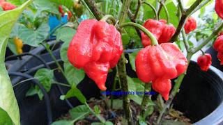 Bhut Jolokia seeds, Trinidad 7 Pot seeds