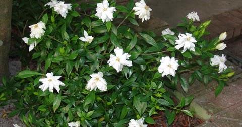 Gardenia ou rose conde flore de l le de la r union for Entretien jardin reunion