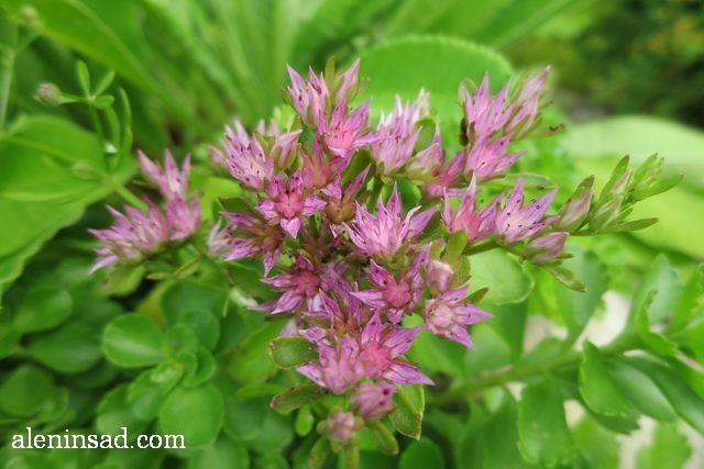 очиток, седум, Sedum, аленин сад, цветы, июль