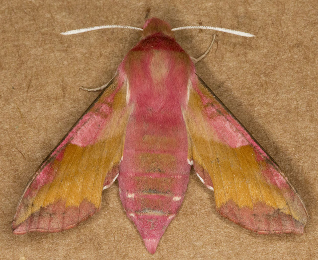 Small Elephant Hawkmoth, Deilephila porcellus.  Norbury Park, 17 June 2012.