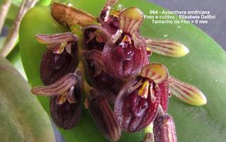 Acianthera smithiana do blogdabeteorquideas
