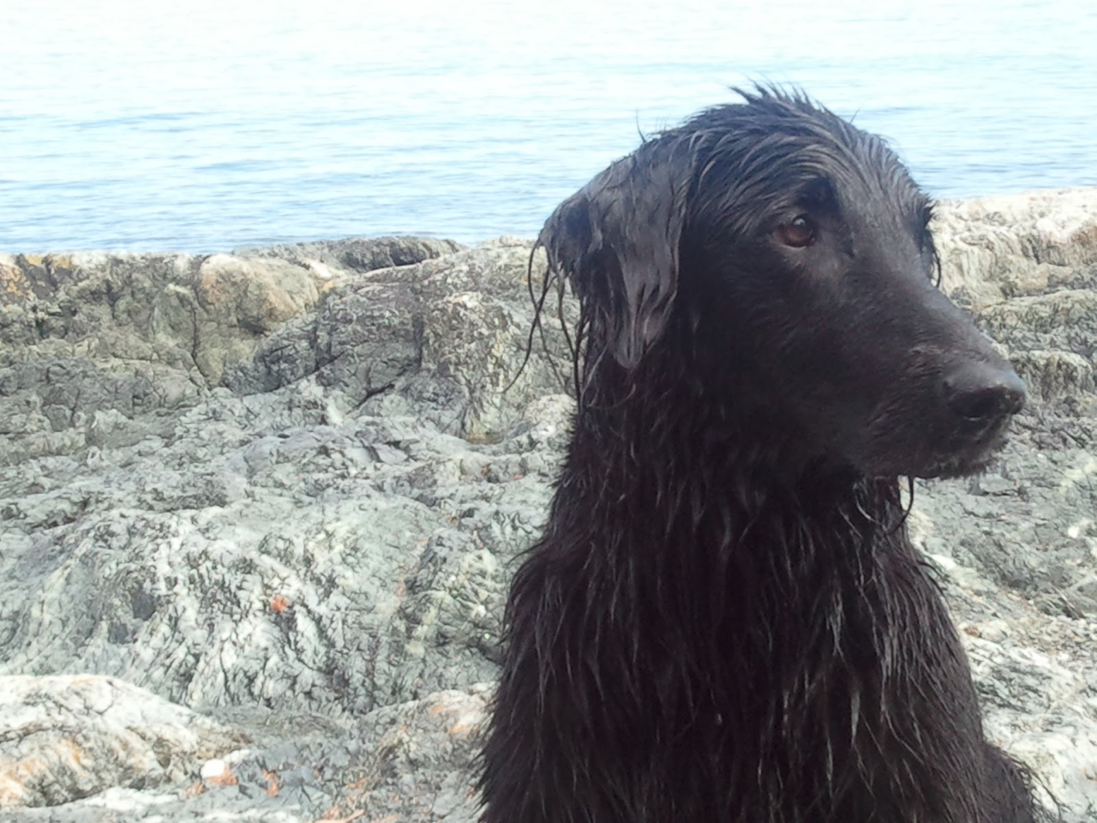 The Island Sport Retriever: Breed Introduction: The Flat Coated ...