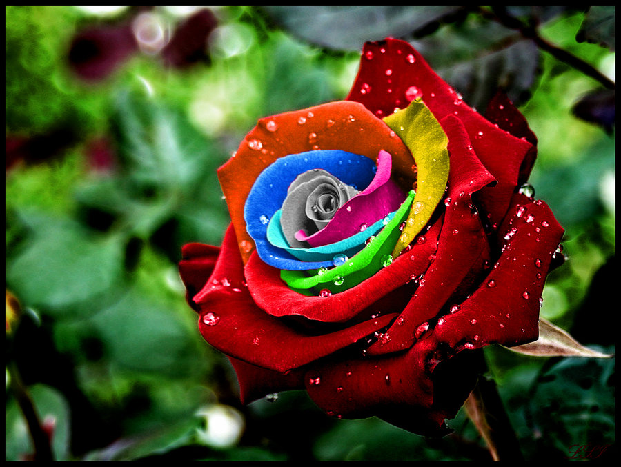 wallpapers hd desktop wallpapers free online rose