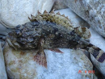 Scorpie de mare